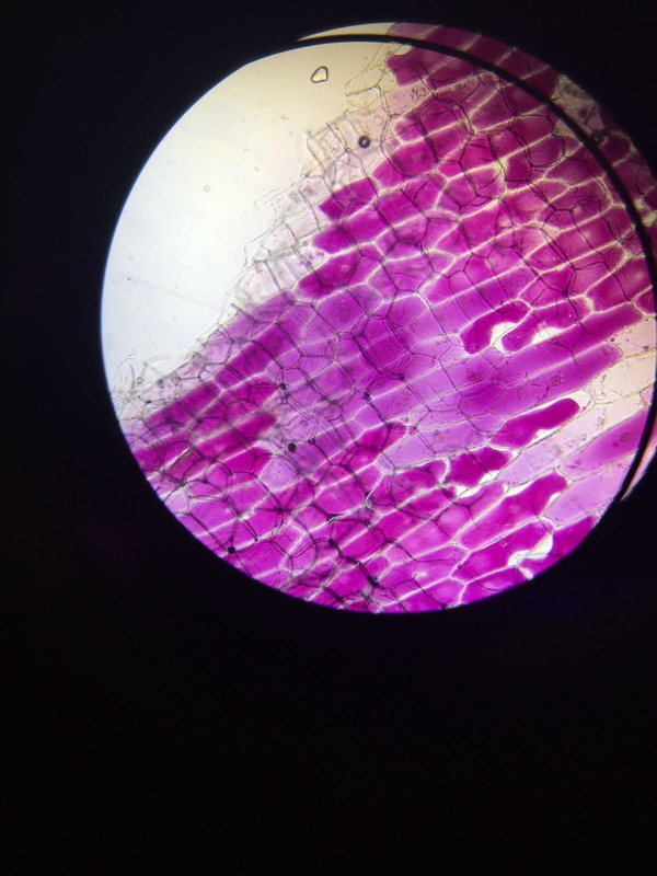 red onion cell in salt water